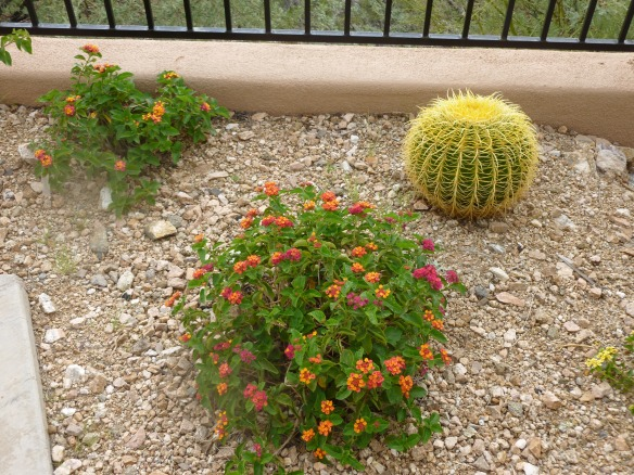 red orange lantana species verbena
