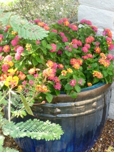 pink camara shrub lantana flowering
