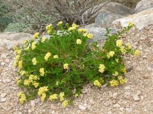 soil for lantana plants