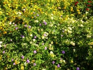Lantana shrubs