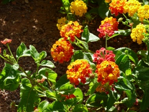 Irene species of Lantana plants