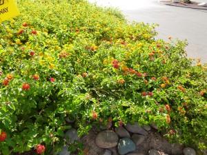 Red lantana mound