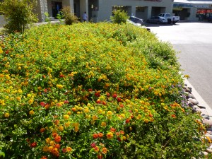 large Lantana Shrubs