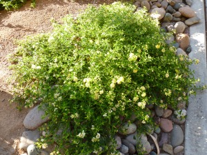 lantana for desert landscaping