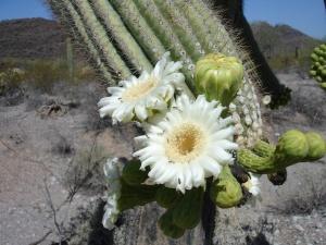 White flower on cactus
