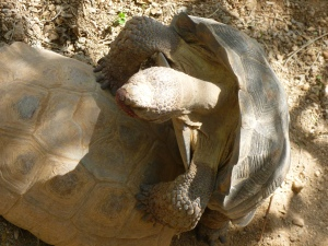 Arizona male Tortoise copulating