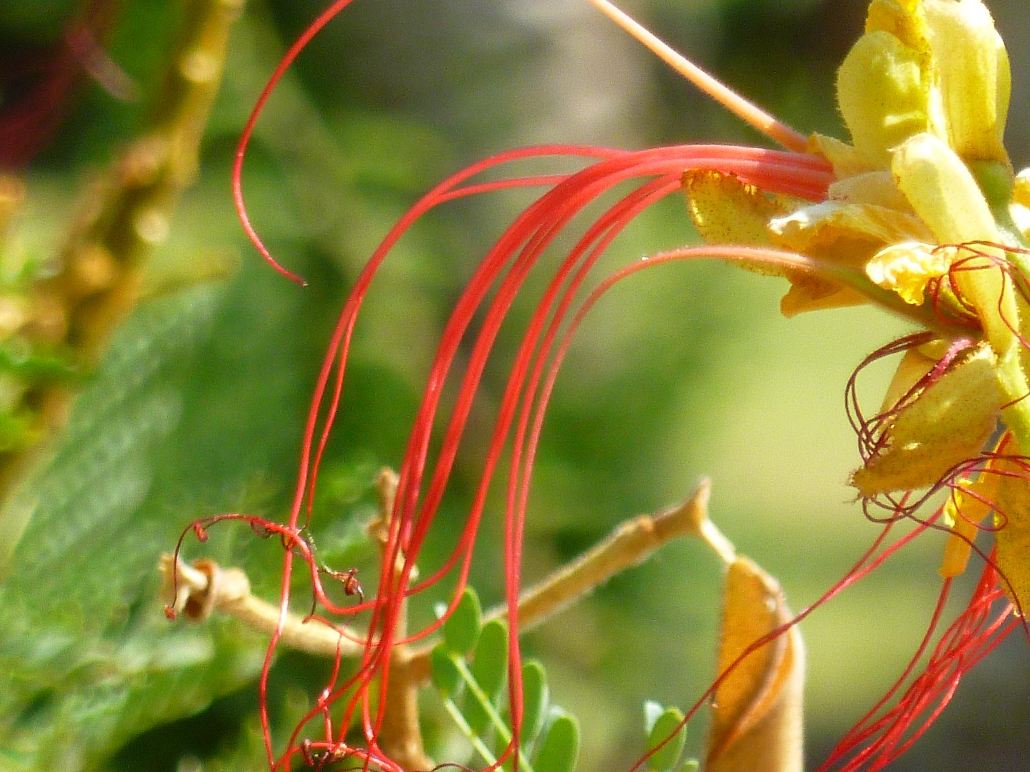Yellow bird of paradise bush tjs garden yellow bird of paradise bush mightylinksfo