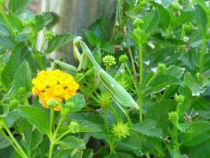 Lantana potted plants