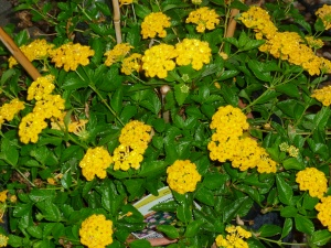 Lantana plant in pots