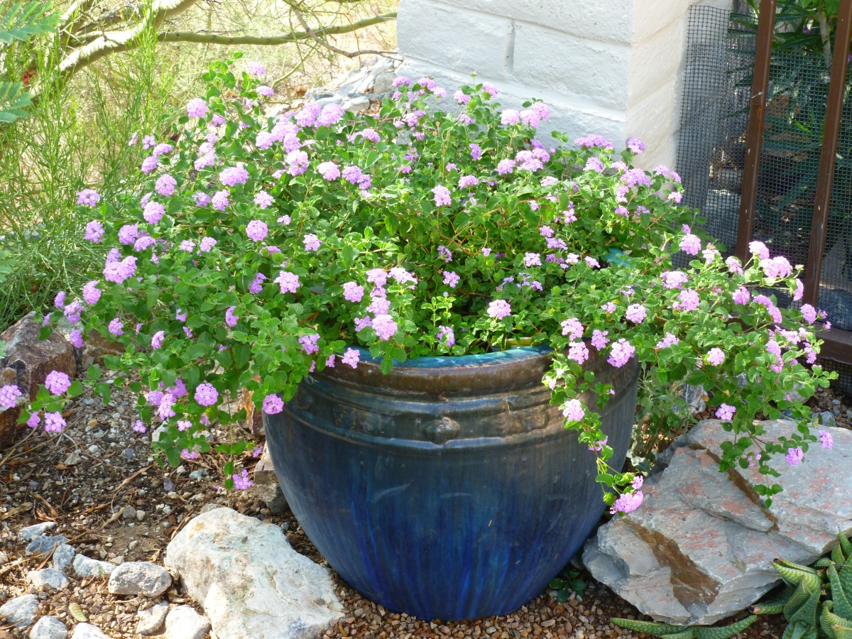 LANTANA made #2 for the top 10 heat resistant plants in Arizona
