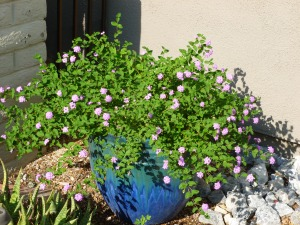 drought and heat tolerant plant