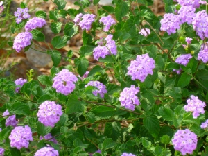Arizona Lantana drought tolerant