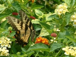 plants to attract butterflies