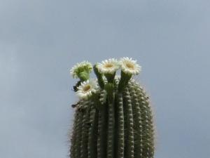 pitahaya sahuara cactus