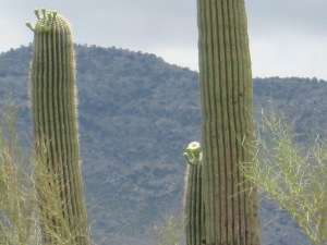 Saguaro National Park Cactus bloom