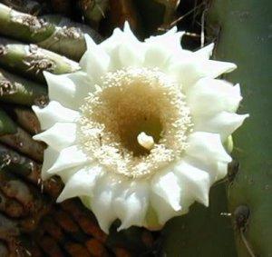 Saguaro National Park cactus blooms