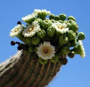 caus bloom in Saguaro National Park