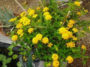 Lantana flowers in a desert yard