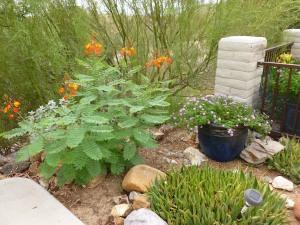 Arizona bush with orange red flowers