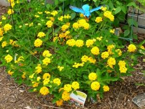 yellow gold lantana growing