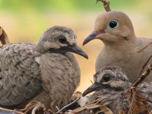 dove nest with 3 birds