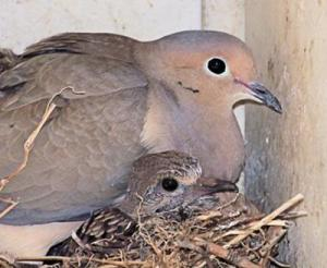 mourning dove in the nest
