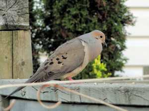difference of male and female doves