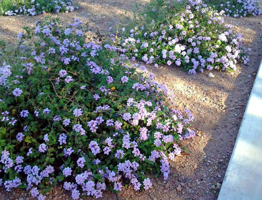 Purple, Yellow, and Red Lantana are some of the best drought resistant plants
