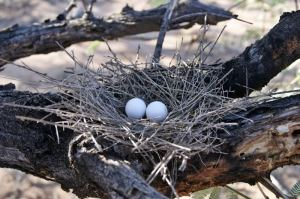 flimsy bird nest with twigs and white eggs