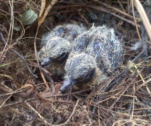 two baby birds in a nest