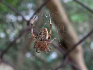 most common spider