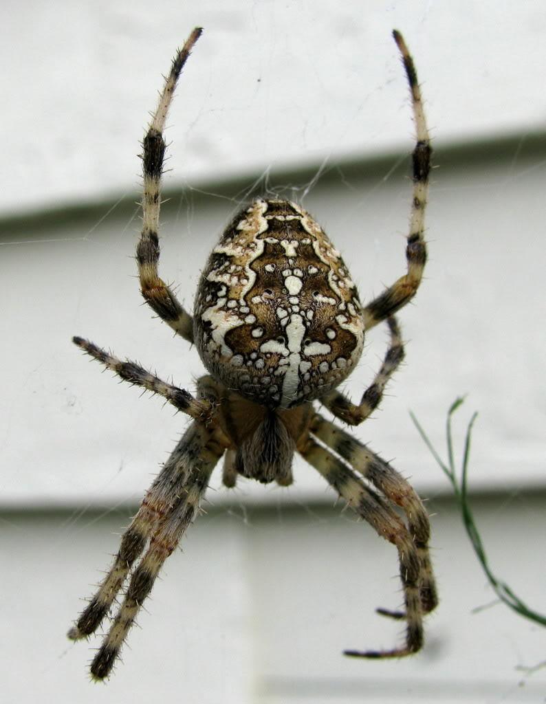 brown striped garden spider \u2013 Tjs Garden