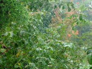 wheel web of the orbweaver spider