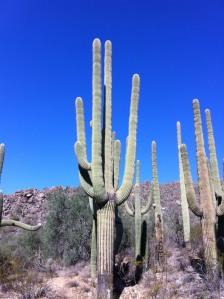 Sonoran Desert cactus tall