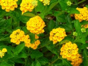 perrenial flowering plant