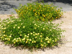 yellow lantana to attract butterflies