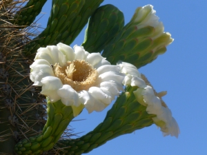 Arizona state cactus flowers