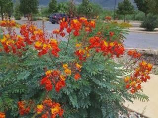 arizona texas shrubs
