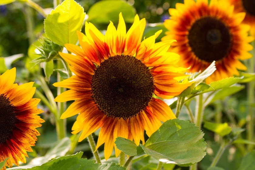 species of sunflowers with red