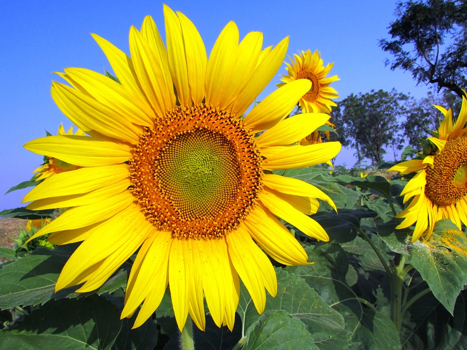 What are the varieties of sunflowers?