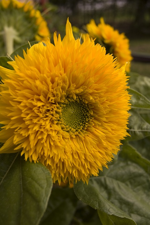 species of sunflowers mirasol