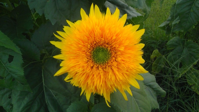 teddy bear sunflower species