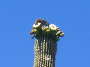 Gila woodpecker inside the saguaro flower