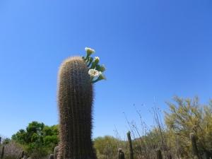 flower buds on desert cactus