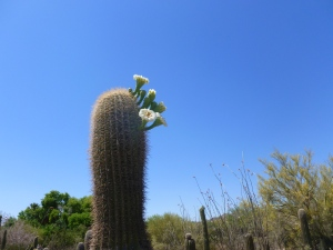 flower buds on desert cactus