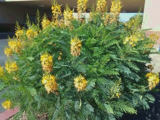 drought tolerant desert shrub