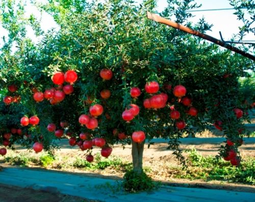 Pomegranate is #1 in our TOP 10 Heat Resistant Plants!