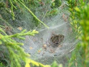 funnel web brown spider