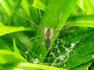 brown spider with long legs